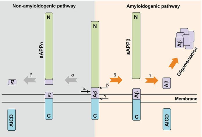 The two secretase pathways