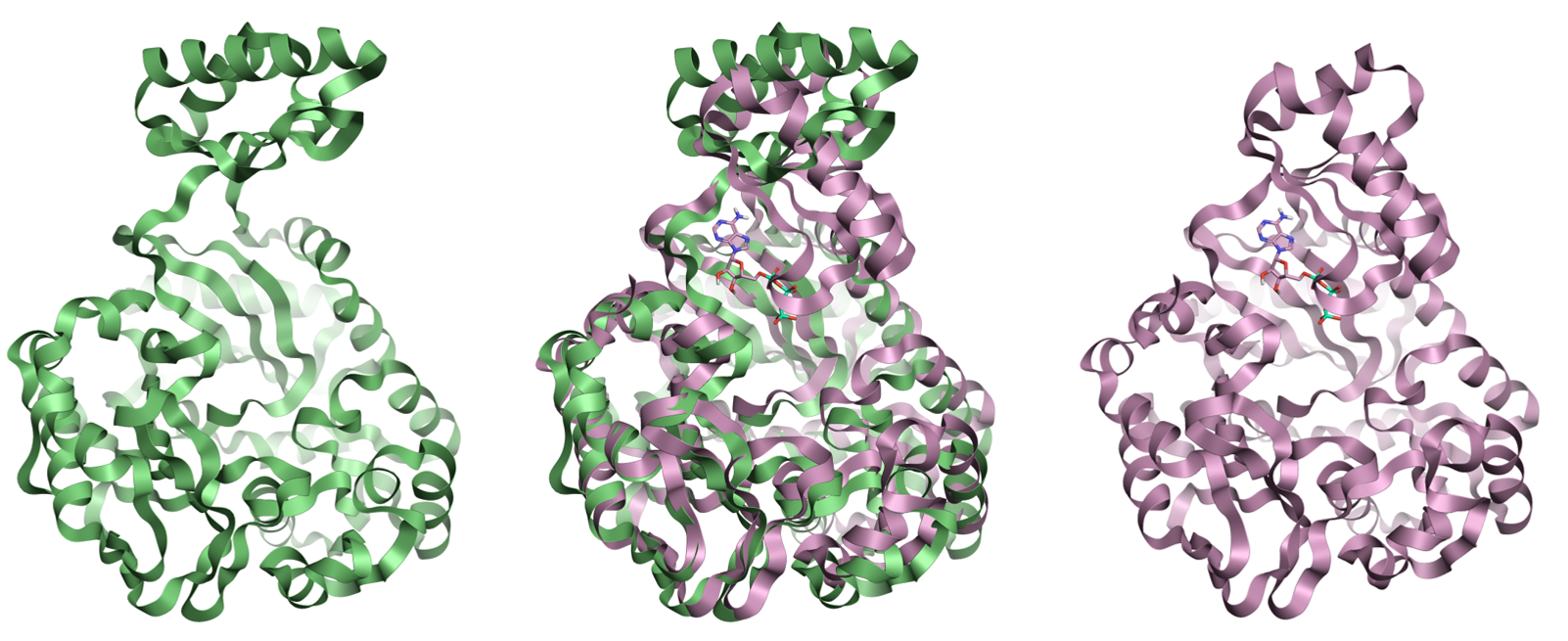 Example protein movements upon ATPbinding for the biotin carboxylase subunit of pyruvate carboxylase using crystal structures