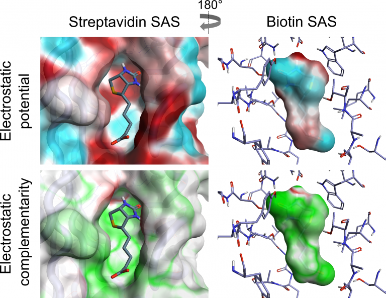 Visualization of ESP and EC of the biotin-streptavidin complex
