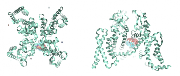 Figure 3_Rabbit Cav1.1 PDB_3JBR with Nifedipine and corresponding positive and negative electrostatics